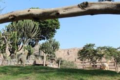 llama beneath Lima ruins